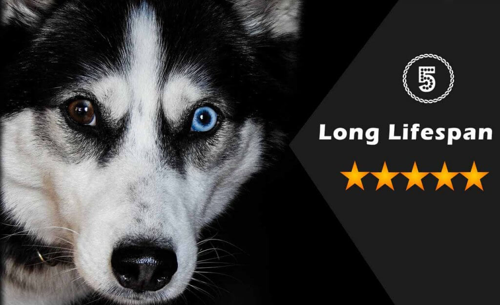 Top 10 Benefits Of Having A Siberian Husky Dogmal