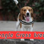 10 Incredible Mixed Cross Hybrid Breeds of Beagle