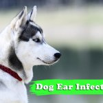 Dog Ear Infections – Important Things You Should Know