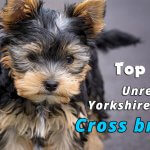 Top 10 Unreal Yorkshire Terrier Cross Breeds You Have To never seen