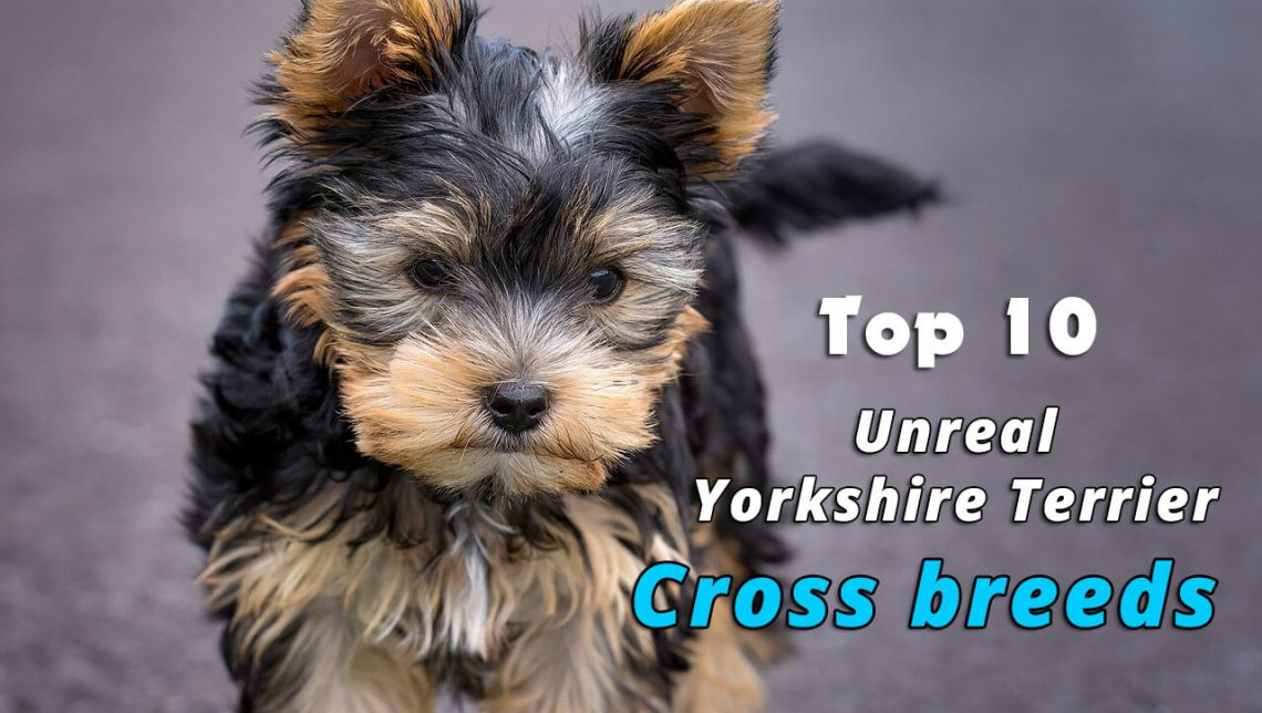 Yorkshire Terrier Cross Breeds