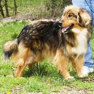 Afghan Collie