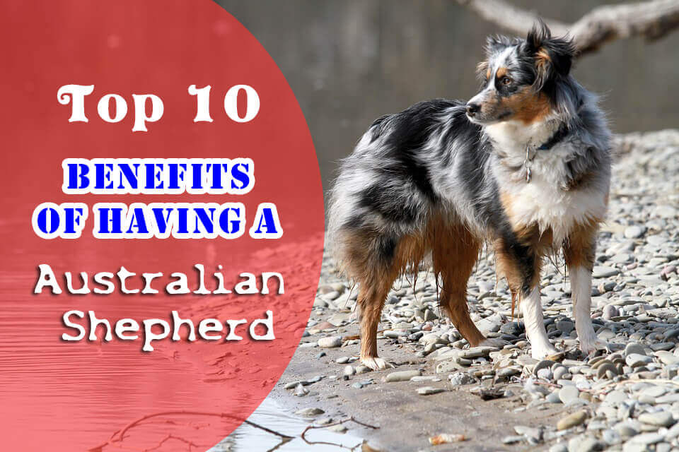Australian Shepherd benefits