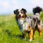 Australian Shepherd benefits