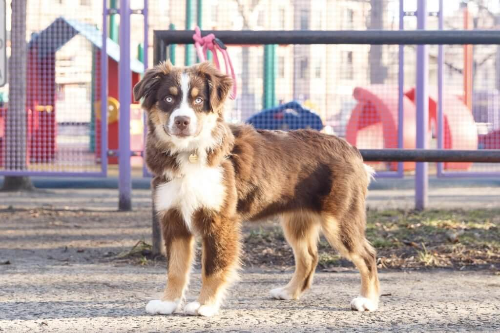 Australian Shepherd brown