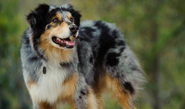Australian shepherd photo dawnload