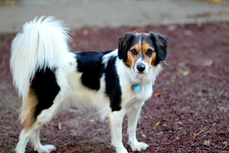 Border Beagle