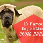 10 Famous English Mastiff cross breeds