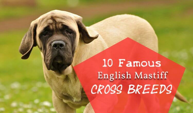 English mastiff cross breeds