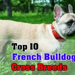 Top 10 French Bulldog Cross Breeds