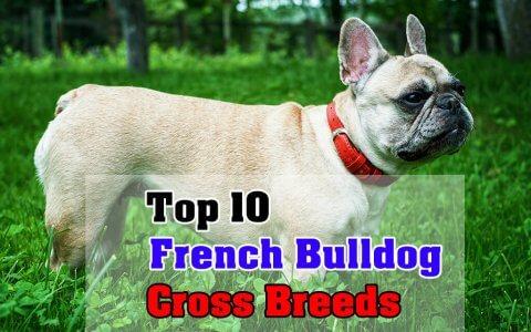 French Bulldog Cross Breeds