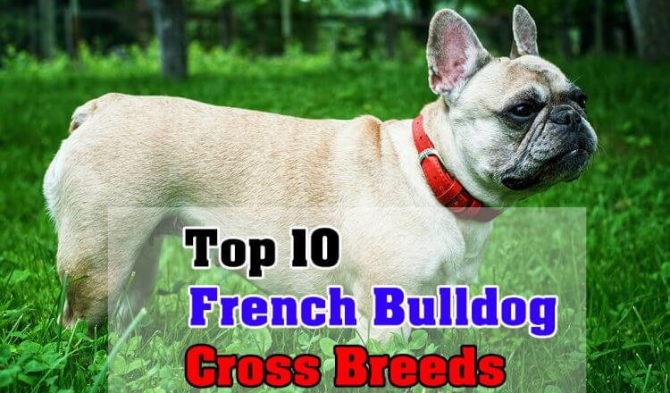 French Bulldog Cross Breeds