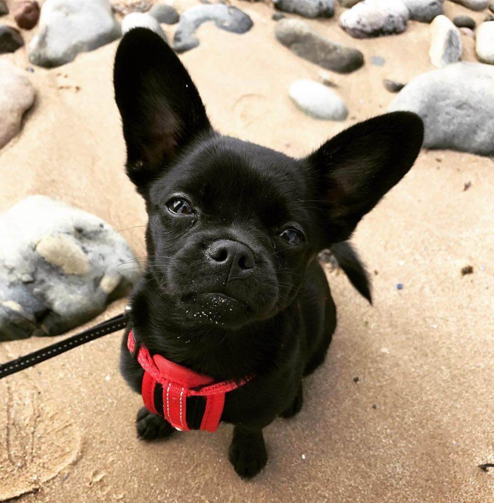 Top 10 French Bulldog Cross Breeds Hybried Dog Breeds Dogmal