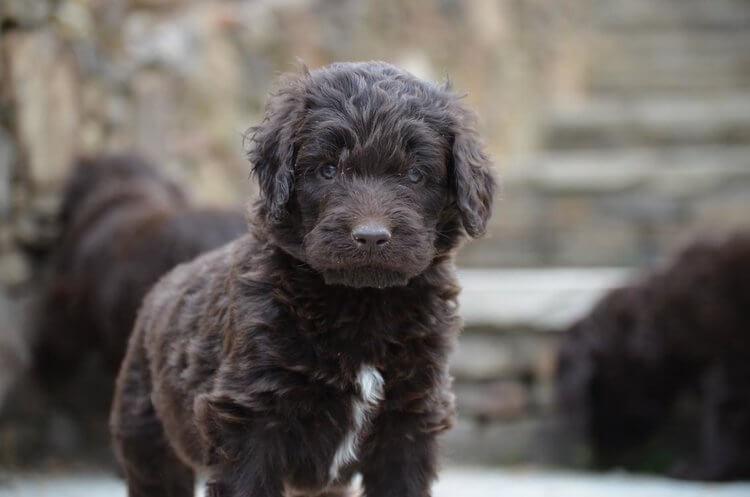 Newfypoo puppy