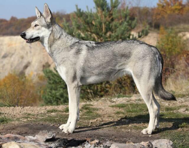 Saarloos wolfdog | Saarloos wolfhound appearance and HD photos