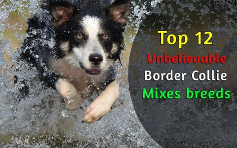 border collie mixes breeds