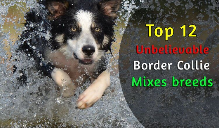 border collie mixes breeds