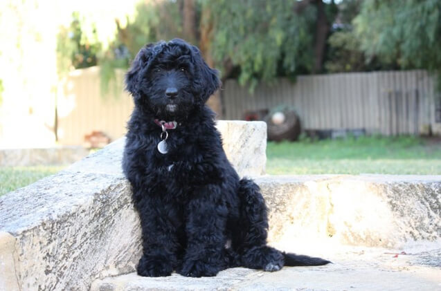 newfypoo dog breed