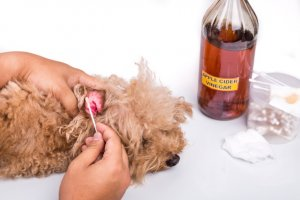 Apple Cider Vinegar for dog ear