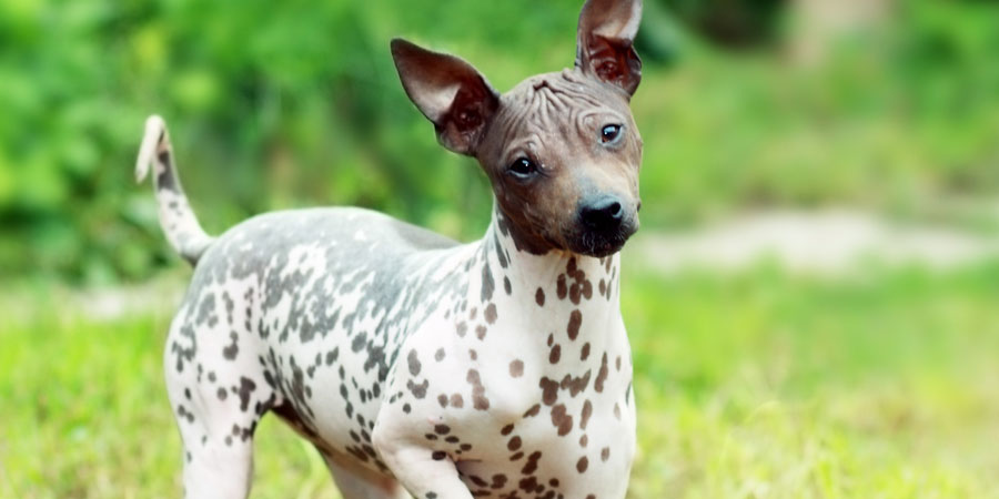 American Hairless Terrier Dog Reviews Real Reviews From