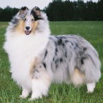 Collie dog reviews