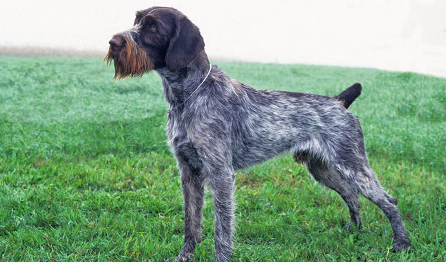 German wirehaired Pointer dog reviews