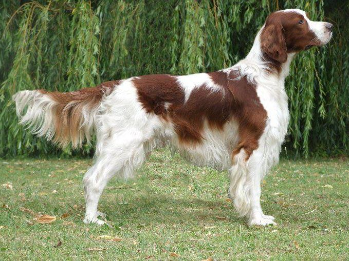 Irish Red and White Setter Dog Reviews - real reviews from ...