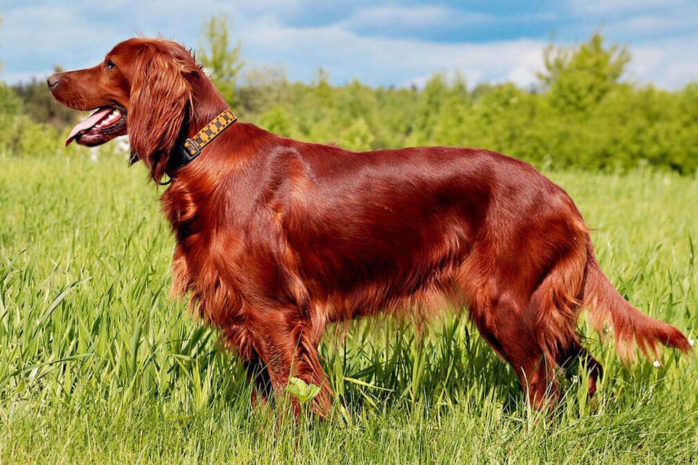 Irish Setter dog reviews