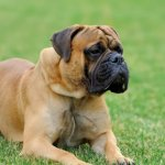 Mastiff dog reviews