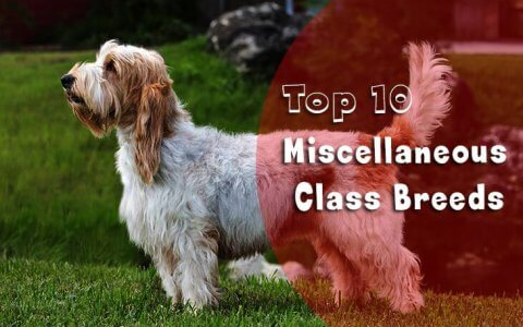 Miscellaneous Class Breeds