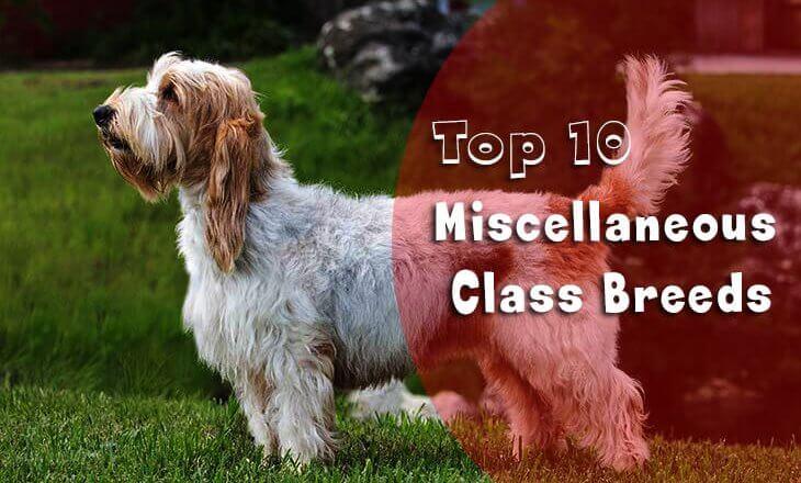 Miscellaneous Class Breeds