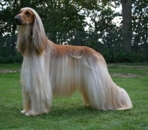 afghan hound dog reviews