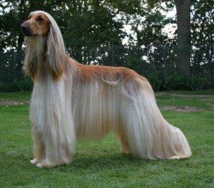 afghan hound dog reviews