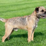 border terrier dog reviews