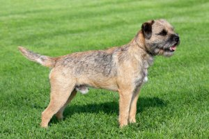 border terrier dog reviews