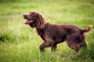 Boykin Spaniel dog reviews