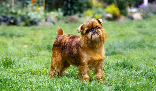 Brussels Griffon dog reviews
