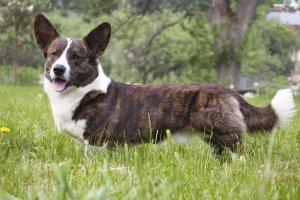 cardigan welsh corgi dog reviews