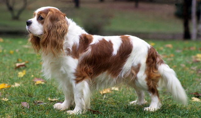 Cavalier King Charles Spaniel dog review