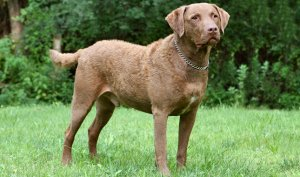 chesapeake bay retriever dog reviews