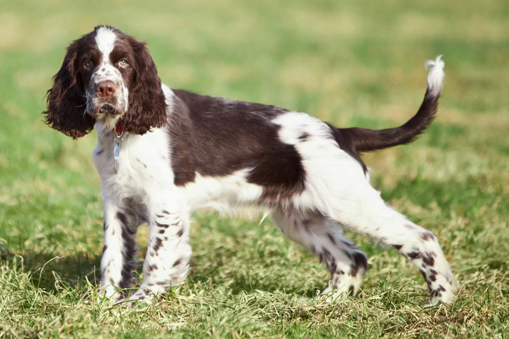 English Springer Spaniel dog reviews