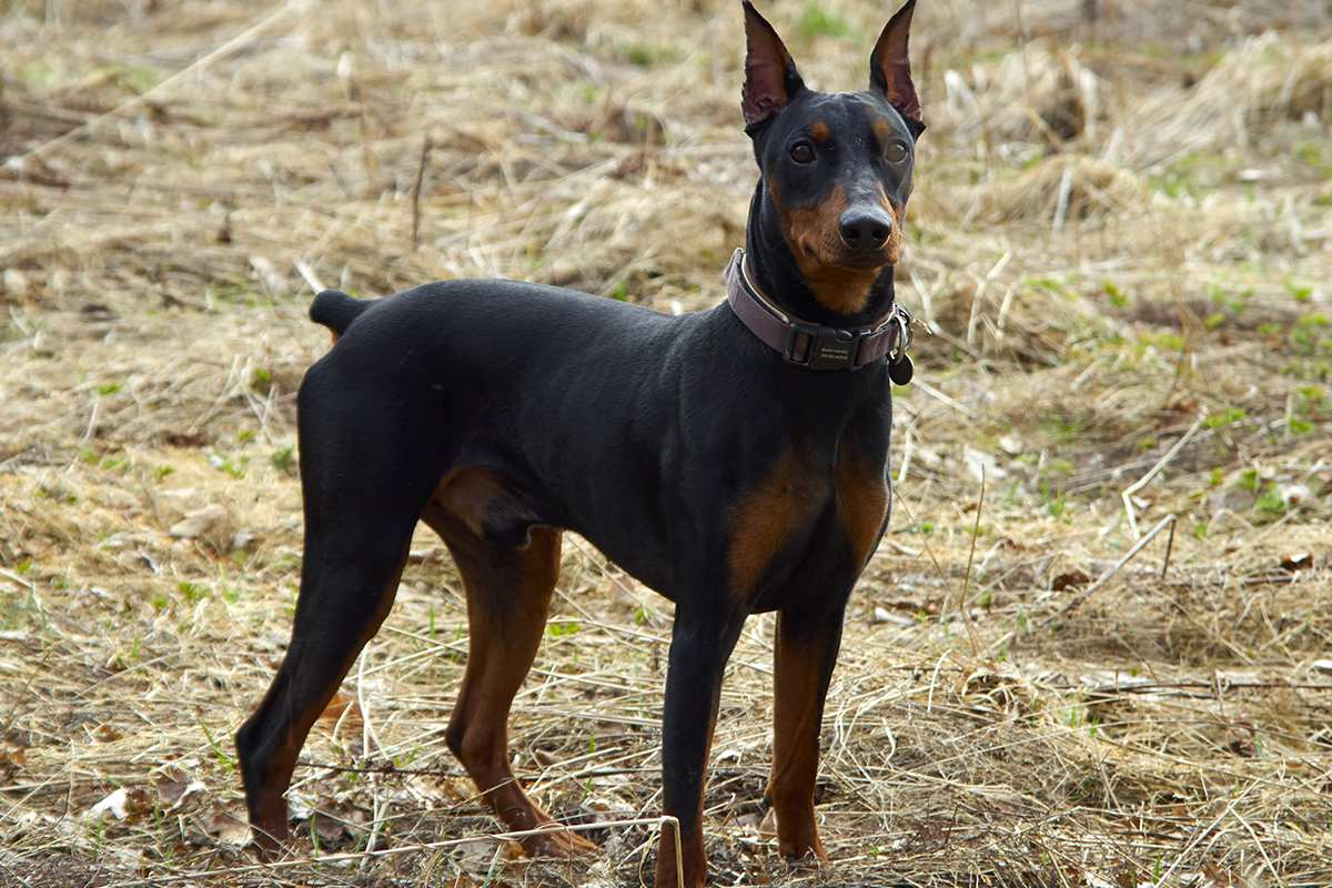 german pinscher dog reviews real reviews from real people