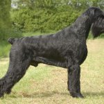 giant schnauzer dog reviews