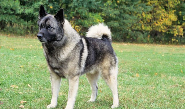 Norwegian Elkhound dog reviews