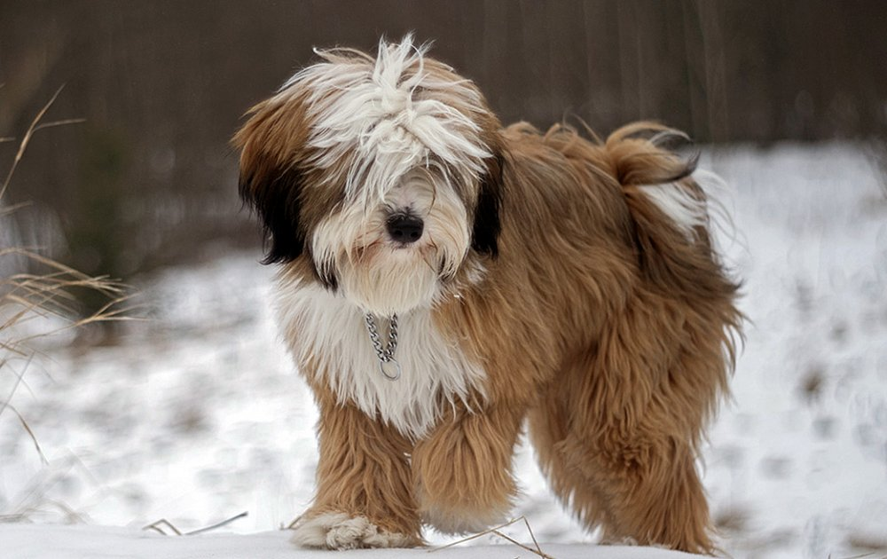 tibetano terrier tibetan terrier dog reviews real reviews from real people 2616