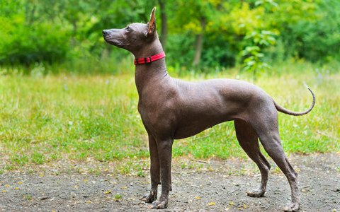 Cane Corso dog reviews - real reviews from real people.Xoloitzcuintle Con Pelo