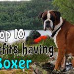 Top 10 Benefits Of Having A Boxer Dog