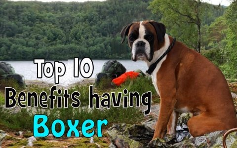 Boxer dog benefits