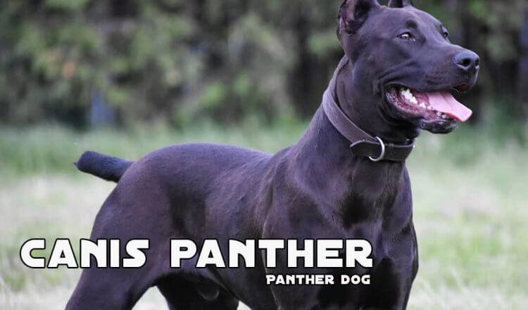 Canis panther