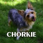 Corgi Yorkie Mix Characteristics Appearance And Pictures